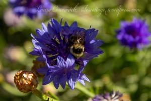 Cornflower/Batchelor Button