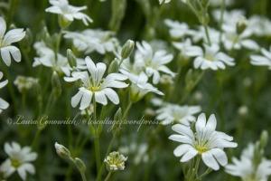 Snow in Summer; Cerastium