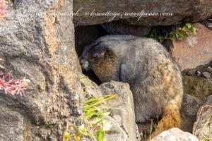 Mount Rainier-marmot