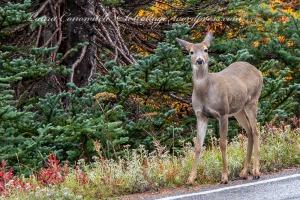 Hurricane Ridge Deer
